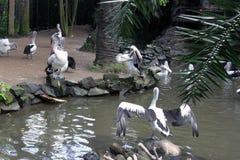 Pelícanos en el parque del pájaro de Bali, Indonesia Imagen de archivo libre de regalías