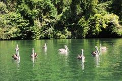 Pelícanos en el río Dulce cerca de Livingston Foto de archivo libre de regalías