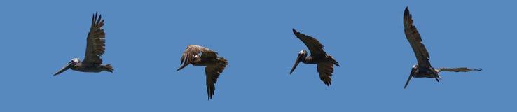 Pelícanos en línea Foto de archivo libre de regalías