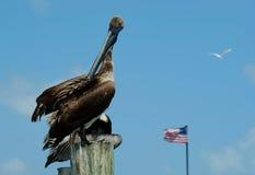 Pelícanos en la Florida (occidentalis del Pelecanus) imagen de archivo libre de regalías