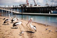 Pelícanos en la isla de Phillip en Victoria, Australia Foto de archivo