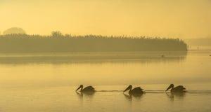 Pelícanos en la niebla de la mañana de la niebla de la mañana antes del amanecer imagen de archivo libre de regalías