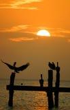 Pelícanos en la puesta del sol Foto de archivo libre de regalías