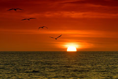 Pelícanos en la puesta del sol Foto de archivo