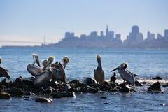 Pelícanos en la sombra de San Francisco Foto de archivo libre de regalías