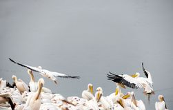 Pelícanos en resto durante la migración en un lago protegido imagen de archivo libre de regalías