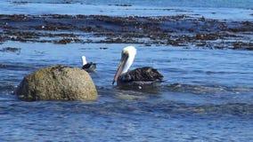 Pelícanos en un lado de la playa almacen de metraje de vídeo