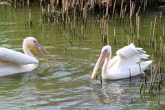 Pelícanos en un lago imagenes de archivo