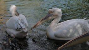 Pelícanos en un lago del parque zoológico almacen de video