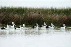 Pelícanos en una fila Imagen de archivo libre de regalías