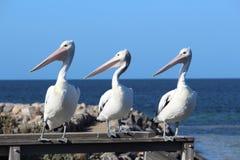Pelícanos en una fila Imagenes de archivo