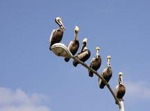 Pelícanos en una luz de calle Fotos de archivo