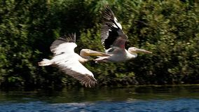 Pelícanos en vuelo fotos de archivo libres de regalías