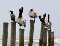 Pelícanos encaramados en polos Foto de archivo