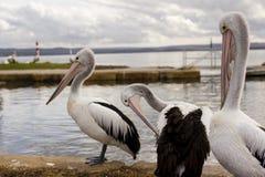 Pelícanos grandes cerca del agua Foto de archivo libre de regalías
