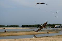 Pelícanos - lago Tacarigua Imagenes de archivo