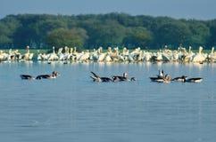 Pelícanos múltiples y otros pájaros que comen los pescados - wa de la madrugada Imagen de archivo libre de regalías