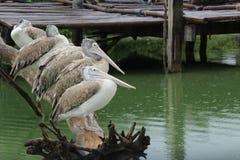 Pelícanos mandados la cuenta punto Imagen de archivo