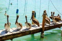 Pelícanos marrones grandes en Islamorada, llaves de la Florida Imagen de archivo libre de regalías
