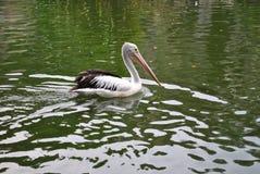 pelícanos Negro-cons alas que nadan en el parque zoológico fotos de archivo
