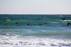 Pelícanos que cazan pescados en el cuadro ocho isla Fotos de archivo