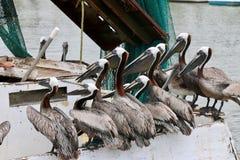 Pelícanos que esperan la comida en el lado del barco Imagen de archivo libre de regalías