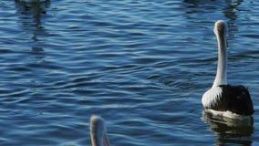 Pelícanos que nadan