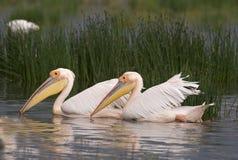 Pelícanos que nadan Imagen de archivo libre de regalías