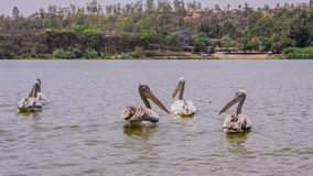 Pelícanos que nadan Imagen de archivo