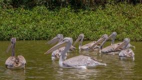 Pelícanos que nadan Imagenes de archivo