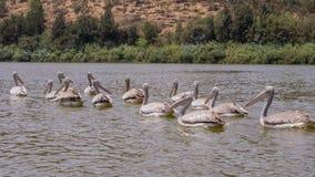 Pelícanos que nadan Foto de archivo libre de regalías