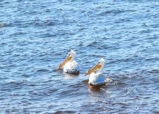 Pelícanos que nadan Imágenes de archivo libres de regalías