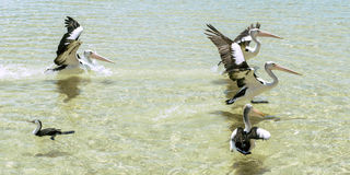 Pelícanos que nadan en el agua Foto de archivo libre de regalías