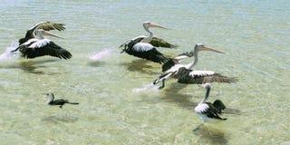 Pelícanos que nadan en el agua Fotos de archivo libres de regalías