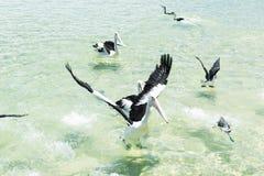 Pelícanos que nadan en el agua Imágenes de archivo libres de regalías