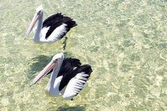 Pelícanos que nadan en el agua Imagenes de archivo