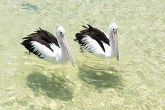 Pelícanos que nadan en el agua Imagen de archivo libre de regalías