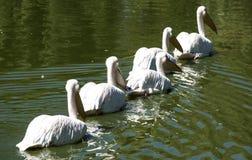 Pelícanos que nadan en fila Imágenes de archivo libres de regalías