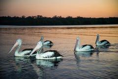 Pelícanos que nadan en la puesta del sol Fotografía de archivo