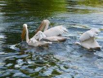 Pelícanos que nadan en un lago en Londres Fotografía de archivo libre de regalías