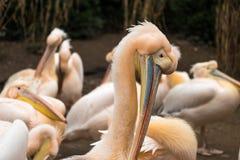 Pelícanos que se colocan en la línea que muestra sus picos en un parque zoológico Imagen de archivo libre de regalías