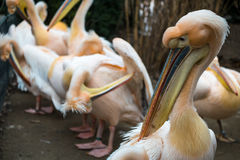 Pelícanos que se colocan en la línea que muestra sus picos en un parque zoológico Imágenes de archivo libres de regalías