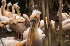 Pelícanos que se colocan en la línea que muestra sus picos en un parque zoológico Foto de archivo libre de regalías