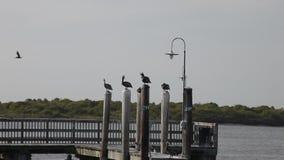 Pelícanos que se sientan en un muelle en Galveston almacen de metraje de vídeo