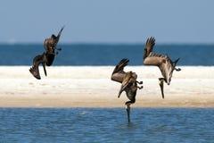 Pelícanos que se zambullen para los pescados Fotos de archivo libres de regalías