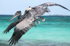 Pelícanos que vuelan 2 imagenes de archivo