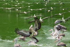Pelícanos que vuelan en el cielo y en el agua fotos de archivo