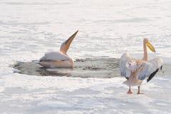 Pelícanos rosados Fotografía de archivo