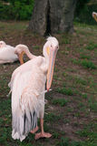 Pelícanos rosados Fotografía de archivo libre de regalías