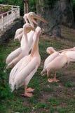 Pelícanos rosados Imagen de archivo